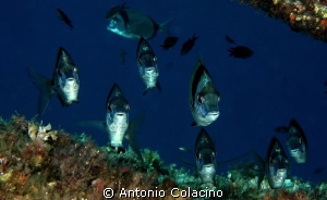 Diplodus vulgaris in a cave by Antonio Colacino 